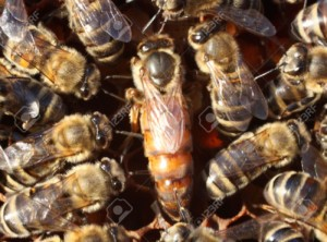 Queen Bee Surrounded by Workers